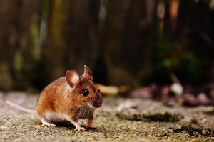 הדברת עכברים